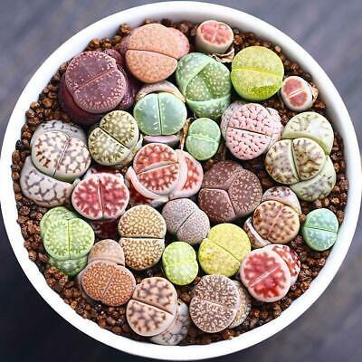 300pcs mix lithops and rare succulent seeds Ass flower Living Stone bonsai A7P0