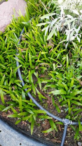 18°C 5x Palme Winterhart Jungpflanze 15-25cm