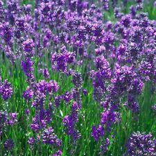 Lavender Common English (Lavandula angustifolia) - 200 Seeds