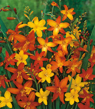 5 Crocosmia Mix Color Flower Bulb Summer Blooming