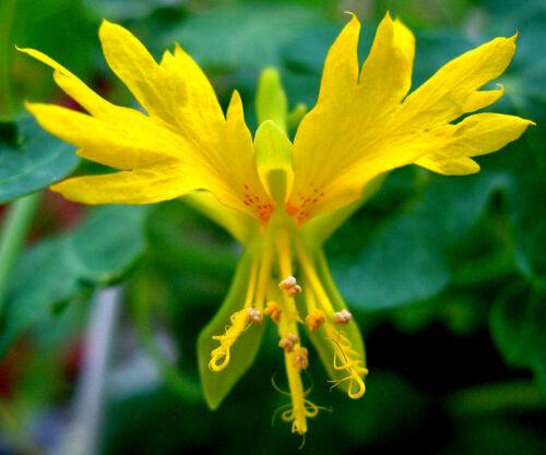 Leuchtendes Gelb//Blume Trend-Sytle Orchid 80 Samen Kapuzinerkresse der Kanaren