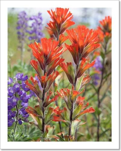 C Red Indian Paintbrush Wildflowers Art Print Home Decor Wall Art Poster