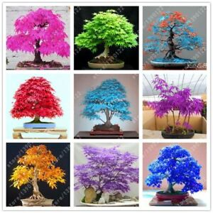 20pcs-bag-japanese-maple-seed-fire-maple-bonsai-flower-tree-seeds-potted-plant-9