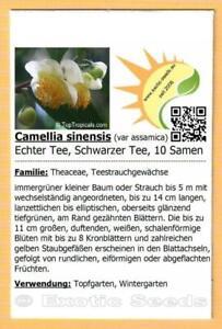 Camellia-sinensis-var-assamica-Echter-Tee-Schwarzer-Tee-Tea-Plant-10-Samen