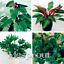10-Kinds-Mix-Philodendron-Bonsai-Vine-Leaf-Indoor-Plants-Tree-NEW-100-Pcs-Seeds thumbnail 2