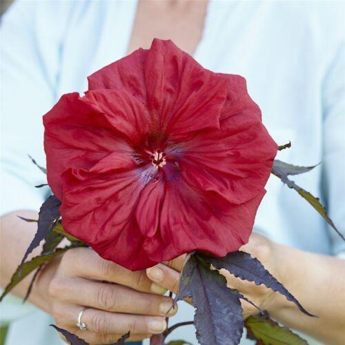RED WINE Riesen-Hibiskus Hibiscus mosch lange Blütezeit frostfest großblumig