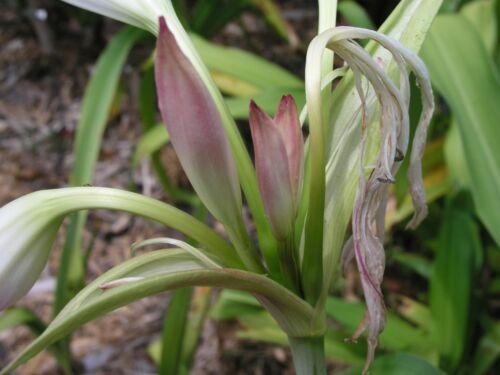 NEW Crinum Lily fragrant medium-size bulb Maiden/'s Blush