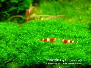 Java Fern Live Cherry Crystal Red Shrimp Aquarium CRS