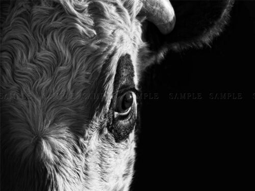 PHOTOGRAPHY ANIMAL COMPOSITION PORTRAIT BULL COW EYE ART PRINT POSTER MP3266A