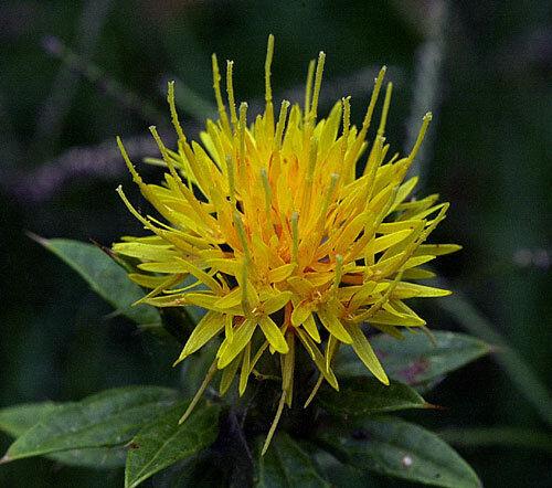 Saffron Seeds -Yellow- Rare 75 Organic Seeds theseedhouse Easy to Grow