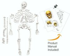 Vision Scientific Vas220 A Life Size Disarticulated Human Skeleton