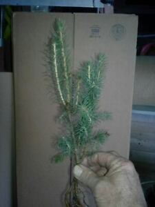 """NORWAY SPRUCE Wind Privacy Fast growth Lot of 18 seedlings 6""""-10"""" Ships Free"""