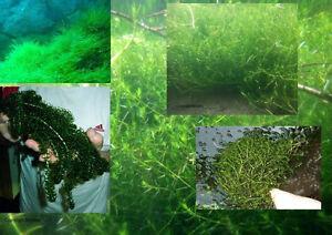 wasserpflanzen set nadelkraut quellmoos elodea mittel gegen algen im teich ebay. Black Bedroom Furniture Sets. Home Design Ideas