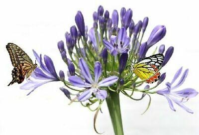 afrikan Riesen Regenlilie Blumen für Bienen Schmetterlinge winterhart Zwiebeln