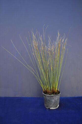 JUNCUS EFFUSUS v18 Giunco comune Soft rush common rush aquatic 1 plant vaso pot