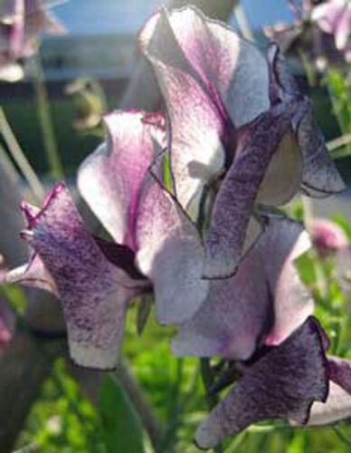 Lathyrus odoratus Nimbus 5 seeds