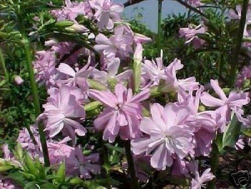 machen Sie aus den Blüten der schönen Seifenblume ganz einfach selber Seife !