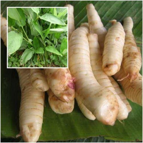 West Indian arrowroot 1 Rhizomes Maranta arundinacea Tuber  Heirloom Edible