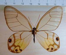 butterflies,Haetera piera Weibchen,Iquitos, Loreto, North Peru,No.26b