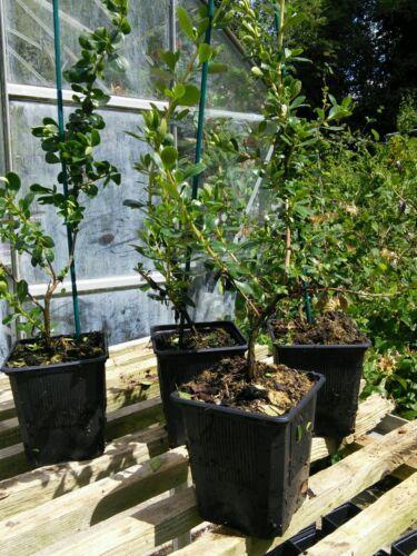 10 PYRACANTHA EVERGREEN RED BERRIES SHRUB HEDGE PLANT WHITE FLOWER POTS 40cm