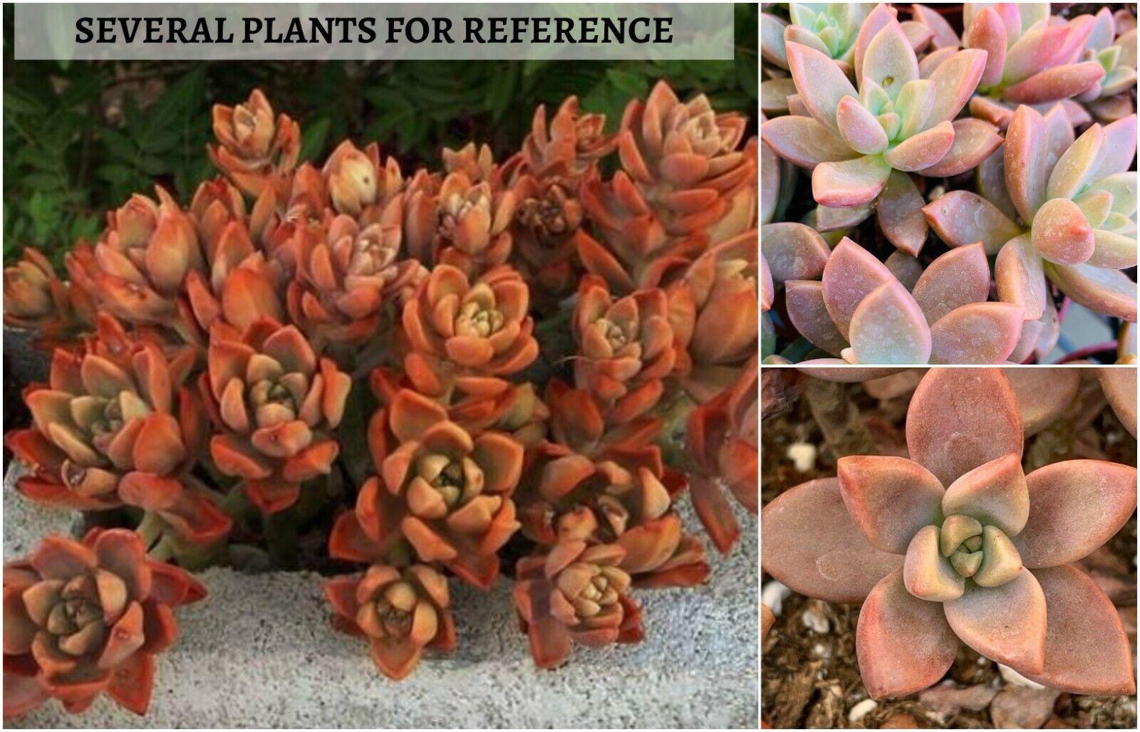 Rare Succulent Echeveria /'Ruming/' Imported from Korea