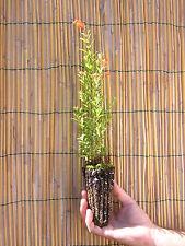 PUNICA GRANATUM melograno NANO Dwarf Pomegranate plant lunga fioritura alveolo