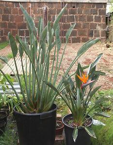 Image Is Loading Rare Seeds Strelitzia Reginae 039 Dwarf