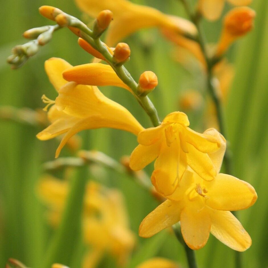 1 Montbretia Crocosmia Yellow George Davidson Bulb Summer Flowering