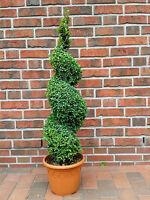 Buchsbaum Spirale , Buxus Sempervirens, Höhe: 110-120 Cm, Bonsai, Formpflanze