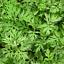 New-1000pc-Wormwood-Seeds-Artemisia-Absinthium-Pest-Repellent-Medicinal-Herb-CA