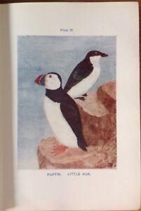 Puffin-Little-Auk-1921-Vintage-Bird-Print-Coloured-Boraston