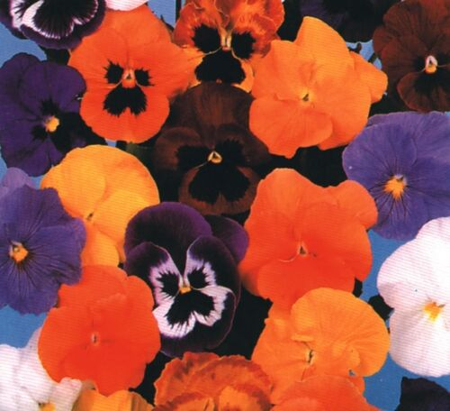 Winter Pansy Flower Forerunner Mix 1000 Seeds