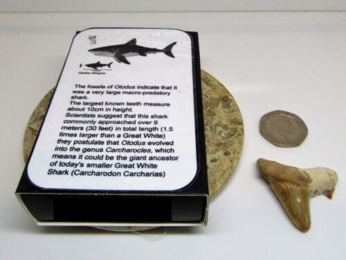 dinosaur /& nature Real fossil otodus shark tooth /& gift box /& information card