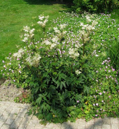 Spierstaude Mädesüß Filipendula ulmaria Sommerblüher