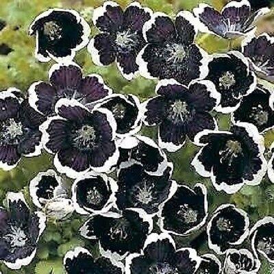 50+ PENNY BLACK NEMOPHILA FLOWER SEEDS / SHADE LOVING