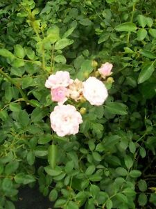 The-Fairy-Pink-Earthkind-Rose-1Gal-Size-Bush-Disease-Resistant-Shrub-Roses-Home
