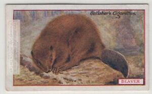 Commercial-Value-Of-The-Beaver-90-Y-O-Trade-Ad-Card