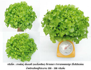 Best-Of-100-HYDROPONIC-SEEDS-LETTUCE-SEEDS-Green-Oak-SEEDS-200-Seeds-New
