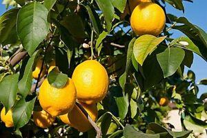 100% Pure Citron Huile essentielle Citrus limon Sauvage naturel artisanal gradeA 1 Indian-afficher le titre d`origine Yzdx6HIY-07223350-437891895