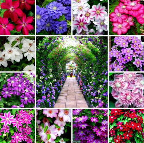 100 Clematis Flower Seeds Lozinka Rare 65 Kinds Beautiful Сreeper Plants Bonsai