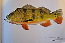 """Great fish Pictures BUTTERFLY PEACOCK BASS FRAMED  18""""x12"""""""
