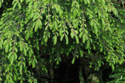 Chinese Hemlock Tsuga chinensis Hardy Evergreen Tree Seeds