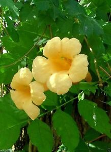 campsis radicans seeds flava yellow trumpet vines hummingbird favorite ebay. Black Bedroom Furniture Sets. Home Design Ideas