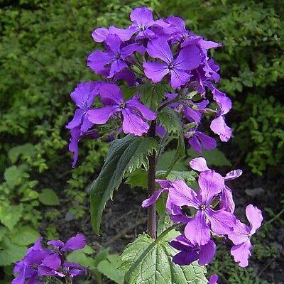 Hardy Zweijährlich Lunaria Annuel 400 Samen Honesty Lila Blumen