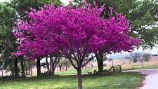 Eastern Red Bud, Cercis Canadensis (TN grown), 20 Seeds FRESH 2016 OVER 40O SOLD