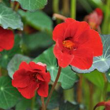 NASTURTIUM Whirlybird Red Seeds (F 255)