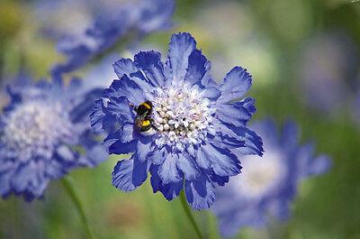 PIN CUSHION FLOWER MIX - Scabiosa caucasica - 40 seeds - PERENNIAL FLOWER