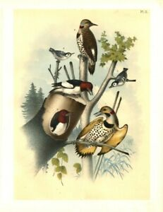 ORNITHOLOGY-BIRDS-RED-HEADED-WOODPECKER-WHITE-BREASTED-BLACK-CAPPED-NUTHATCH