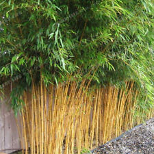 100+ Fresh Giant Bamboo Seeds with instructions - Dendrocalamus