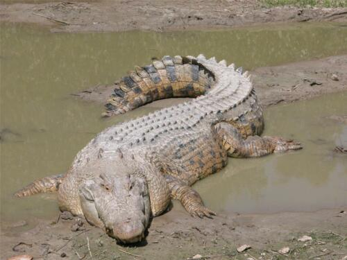 CROCODILE GLOSSY POSTER PICTURE PHOTO alligator dundee gators florida sharp 801